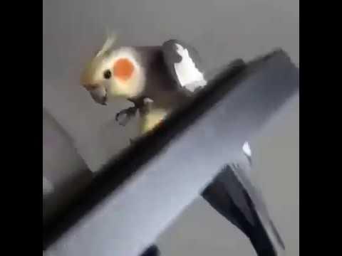 Скример!Попугай Скример!Тык в Попу!