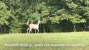 Продажа лошадей конефермы Эквилайн, тел., WhatsApp 79883400208 ВАЦЛАВ 2016г.р.