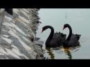 Непослушный малыш - Чёрные Лебеди ...