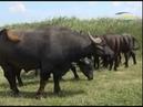 Буйволы переселенцы освоились на юге Одесской области