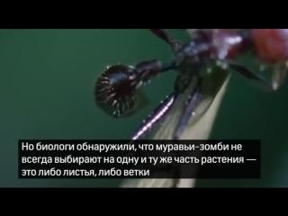 Грибы, делающие из муравьев зомби, адаптировались к изменениям климата
