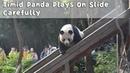 Timid Panda Plays On Slide Carefully   iPanda