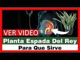 Planta Espada Del Rey Para Que Sirve, Espada De San Jorge, Lengua De Suegra, Lengua De Vaca, V