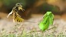 Cuộc chiến bò sát - Bén mảng tới tổ ong bắp cày bọ ngựa liệu có giữ nổi mạng sống??