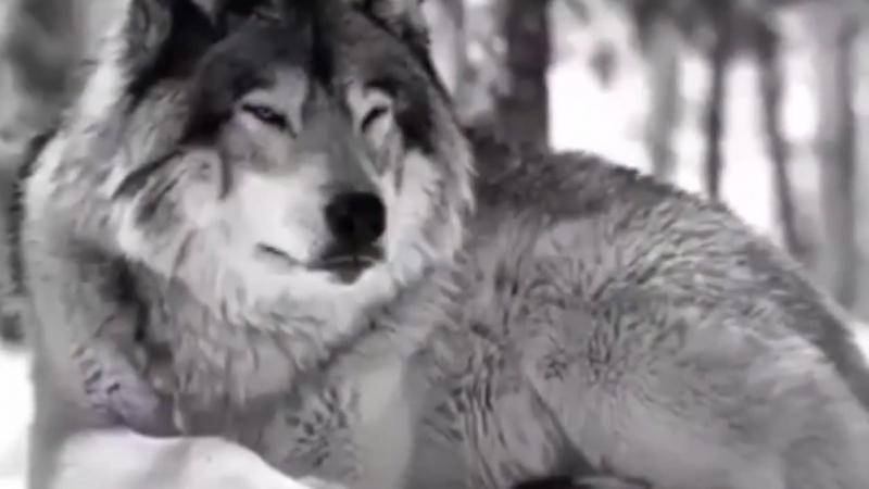 ты даже неподозревал что волк и челове