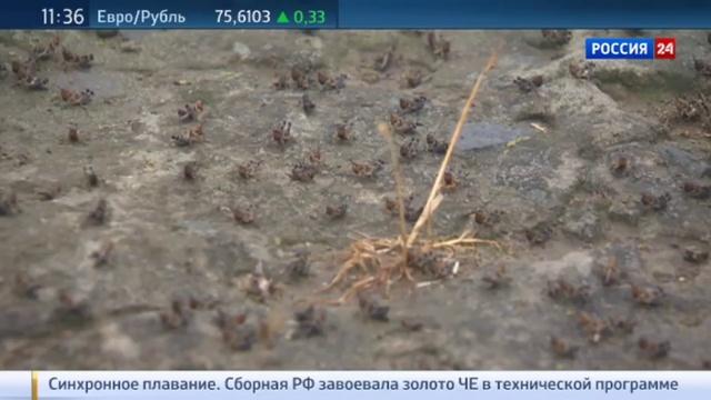Новости на Россия 24 • На Дагестан обрушились полчища саранчи