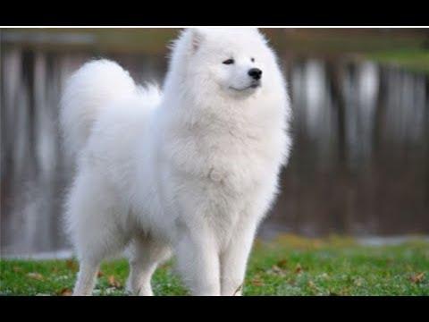 15 Loài Chó Thông Minh Đắt Nhất Thế Giới - ♥ The 15 Most Expensive Dogs in the World