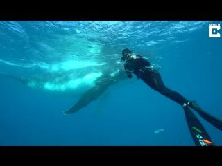 Австралийский дайвер и горбатый кит. История знакомства.