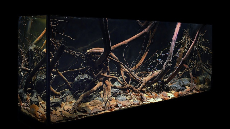 My biotop tank, Brazil, Rio Negro, flooded forest at the source of a small igarapé in Cambeua