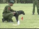 Бирманская Военная Разведка - Обучение Собак Нюхать Бомбы