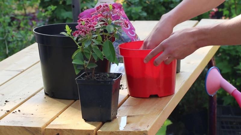 Как пересадить кальмию в открытый грунт или горшок большего размера