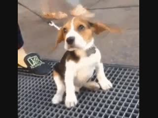 Marilyn's skirt has nothing on this beagle's ears eagle gif cute