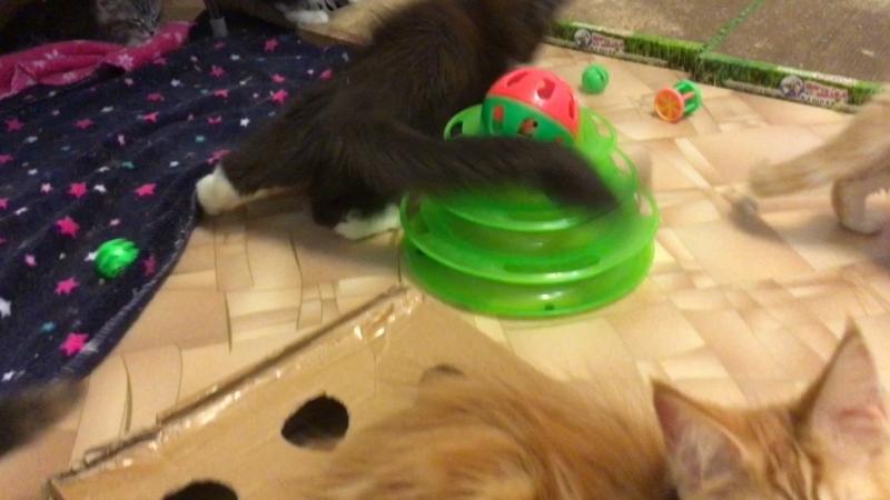Кошечка Хелена , возраст 3 месяца , питомник Acadia Maine ш.Самара