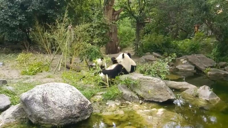 Жующие панды