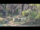 King Lion sleeping unexpected by Crazy Rhino attack Lion lucky escape Rhino vs Hyena