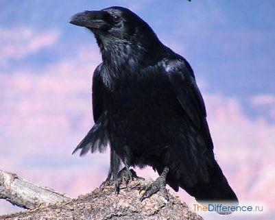 Разница между вороном и вороной Принципиальных отличий между вороном и вороной не существует. Оба вида птиц относятся к одному роду Воронов семейства Врановых. Кроме собственно Ворона и Черной