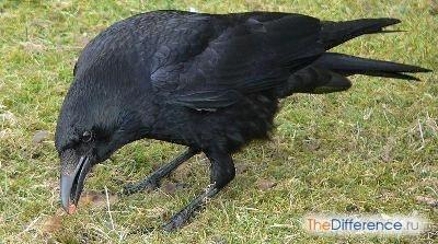 Разница между вороном и вороной