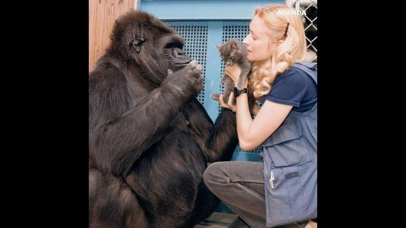 Коко — горилла вундеркинд