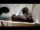 Шотландские котята 5
