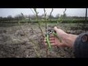 Персик - обрезка, формировка в 1-й год, ошибки