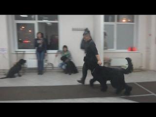 Русский черный терьер Ра. Занятие по дрессировке (ОКД): команда Рядом. Тольятти, 7 ноября 2017.