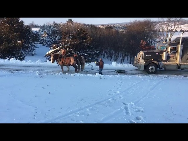 Team of horses pulling a semi truck and trailer. Horsepower! Look at Molly and Prince go!