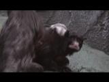 Краснобрюхие тамарины с малышом 30.05.18
