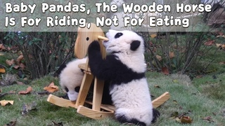 Baby Pandas, The Wooden Horse Is For Riding, Not For Eating | iPanda