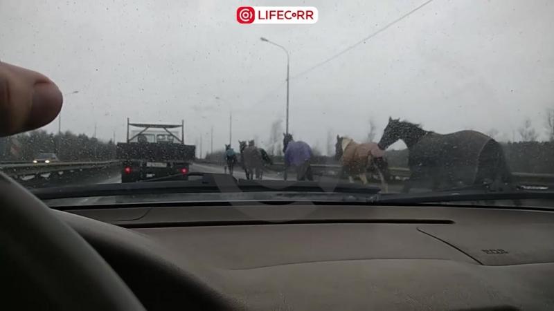 Табун лошадей устроил побег в Санкт-Петербурге