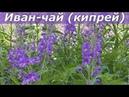 Иван чай кипрей копорский чай где растет как выглядит и чем полезен