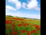 vk.com-club127653956 Alex Zamora poppy field
