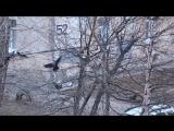 Северодвинск. 4 утра. Куница ворошит гнезда Ворон.