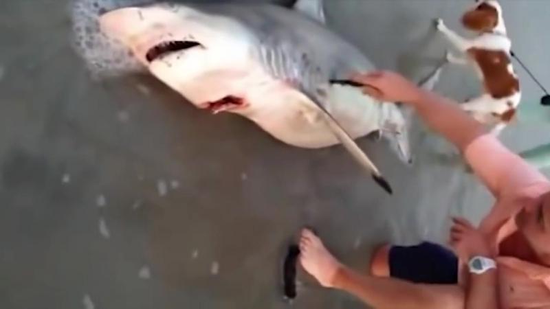 Человек помог мертвой акуле родить трех акульчат
