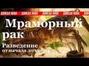 Мраморный рак Reproduction Procambarus fallax forma virginalis reproducción Procambarus fallax