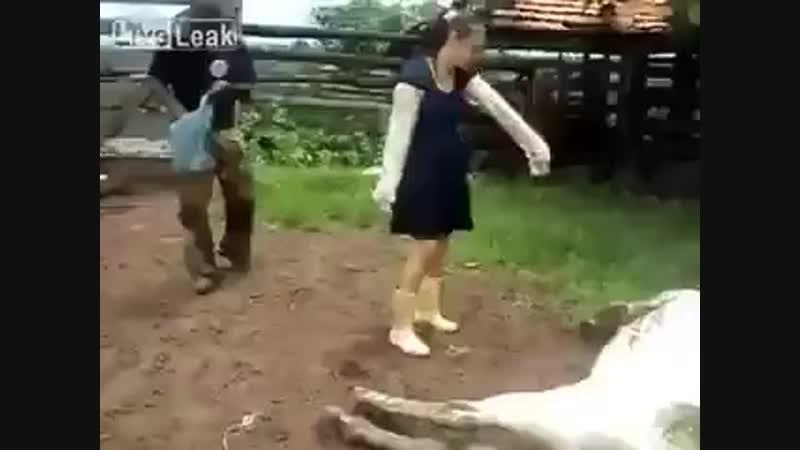 La vache qui couche.mp4