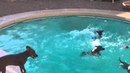 Miracle American Hairless Terriers Go Swimming