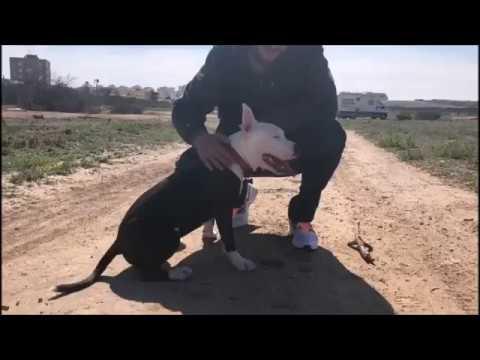 Как разжать челюсти бойцовской собаке, питбулю, стаффу в драке? Один из самых лучших способов!