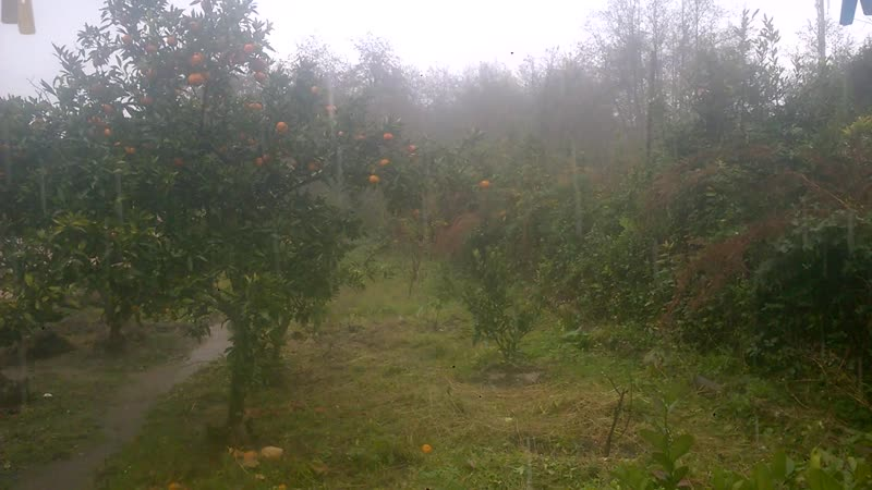 Дождь в краю мандариновых садов