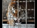 Позорный цирк! Дрессировщик довел тигра до обморока с судорогами