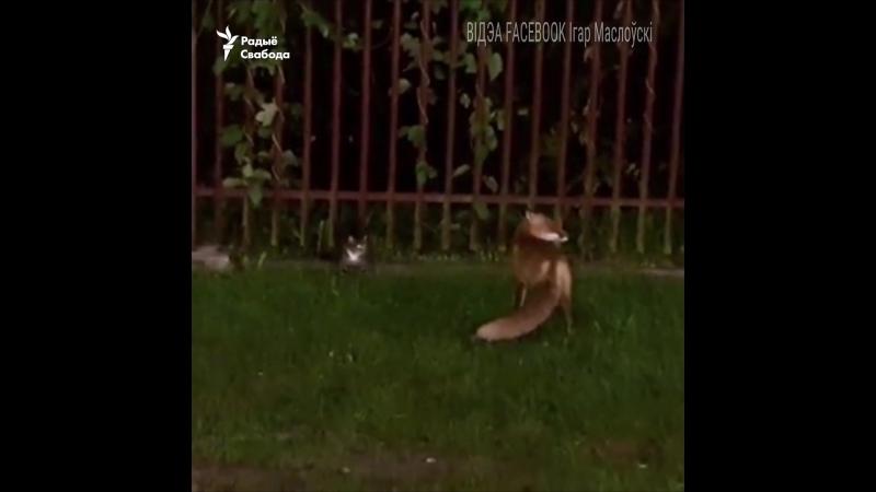 Лісічка забірае ў коціка хлеб на мяжы Беларусі і Польшчы