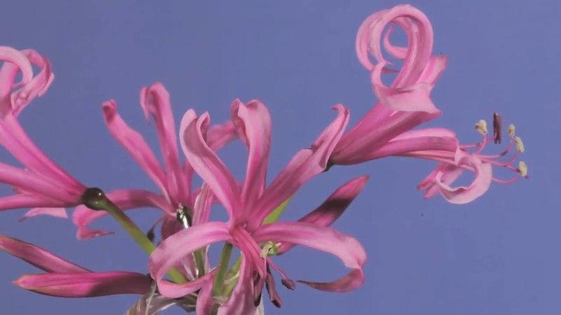 Nerine bowdenii flowers opening time lapse