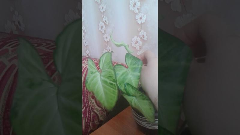 Домашние цветы Сингониум уход
