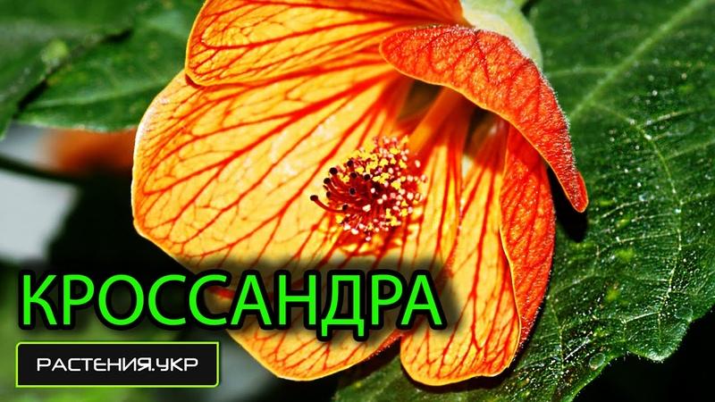 Кроссандра тропик / цветущие комнатные растения