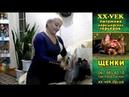 Причёска йоркширского терьера - видео обзор Светланы Пискун (питомник XX-Vek)