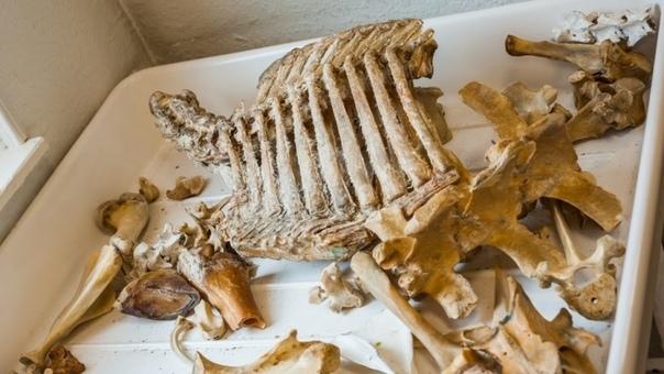 Обнаружен древнейший предок человека размером со слона Палеонтологи обнаружили на территории Польши окаменелые останки дицинодонта, древнейшего известного предка всех млекопитающих, в том числе