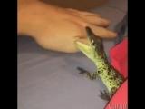Алигатор рвет человека на куски