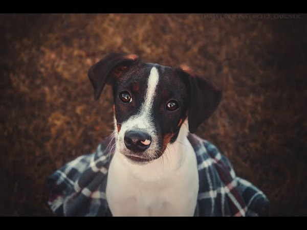 Danish Swedish Farm Dog Puppy - ROVER. Autumn 2017