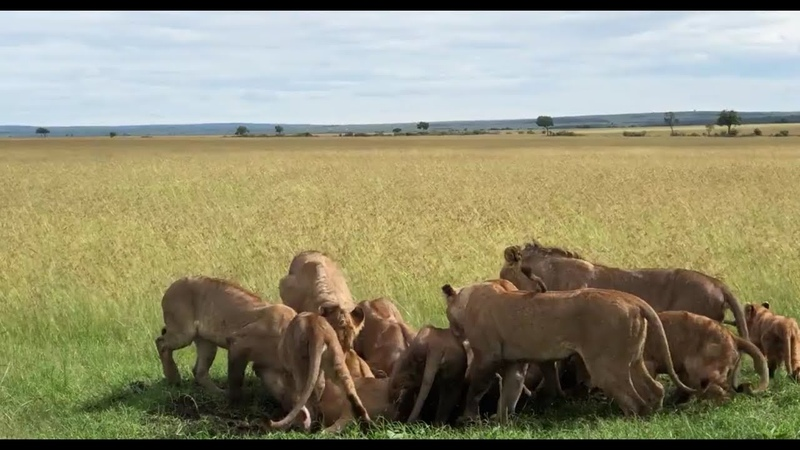 Lions pulling warthogs out of a hole, one by one....