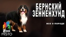 Бернский зенненхунд - Все о породе собаки   Собака породы бернский зенненхунд