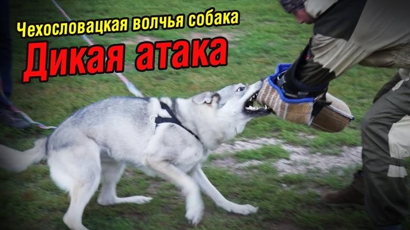 Влчак Луна ДИКАЯ АТАКА